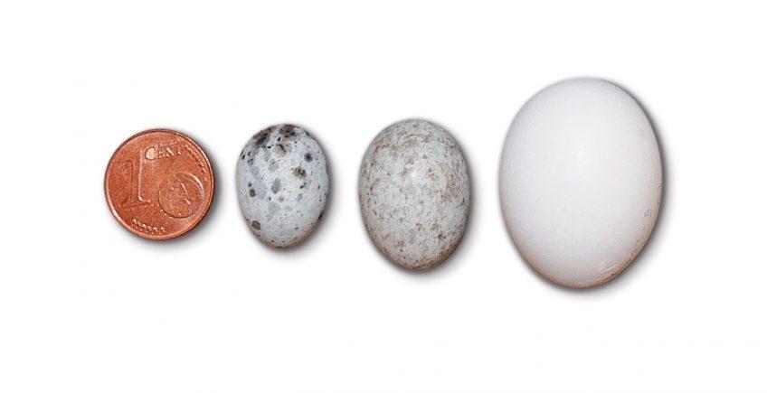 Les œufs du coucou, des imitations presque parfaites