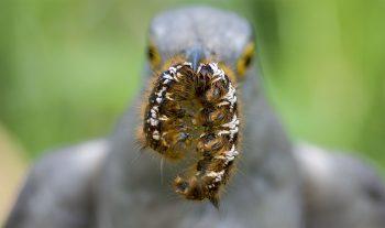 Le coucou gris se nourrit d'insectes. Il apprécie particulièrement les chenilles urticantes qu'il est pratiquement le seul à consommer. Il arrache leurs poils ou les accumule en boulettes dans son estomac avant de les régurgiter. La chute générale et dramatique du nombre d'insectes liée à l'utilisation des pesticides est une cause importante de son déclin.