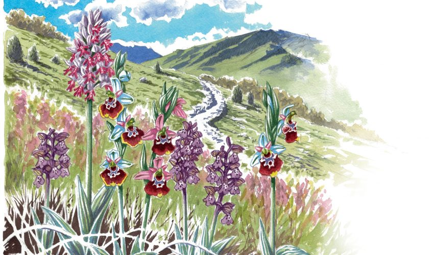 Les orchidées ont des fleurs qui ressemblent à des insectes pour les attirer