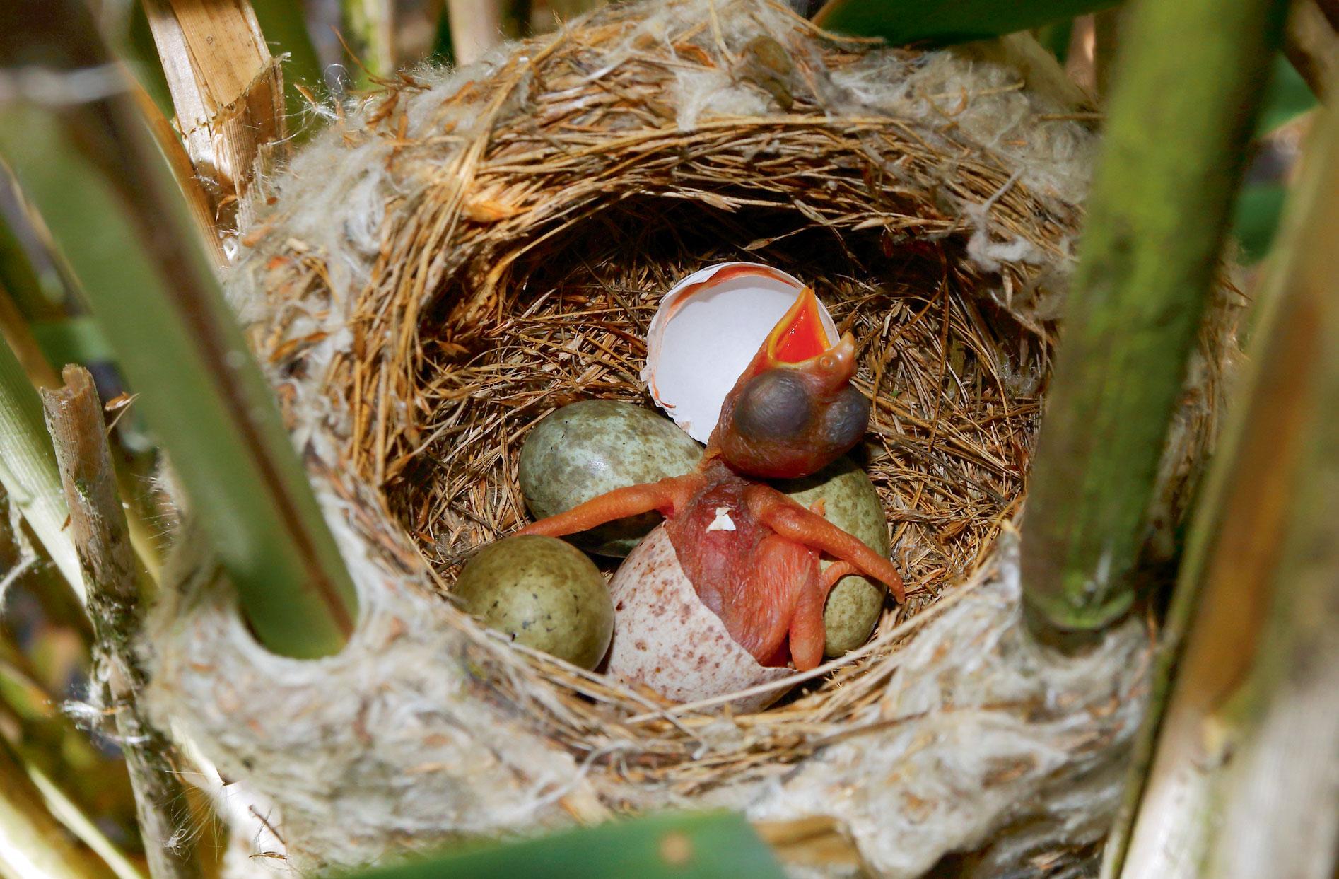 Comment le poussin du coucou gris éjecte-t-il les œufs du nid ?