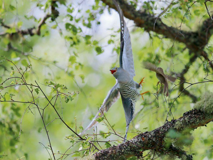 Comment le coucou gris pond-il son œuf dans le nid d'autres oiseaux ?