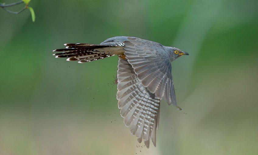 Le coucou gris est un des oiseaux les plus furtifs de nos contrées