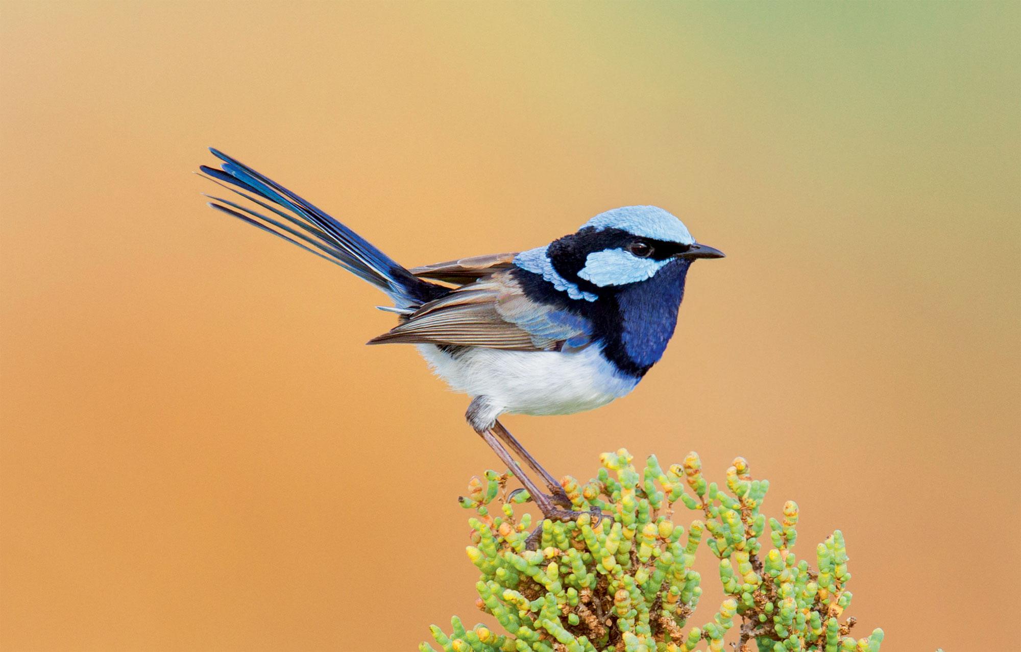 Les oiseaux parasites de couvée autour du monde