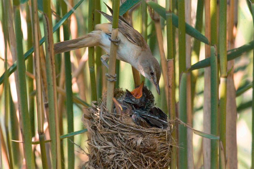 Le jeune coucou, un affamé nourri sans cesse par des parents plus petits