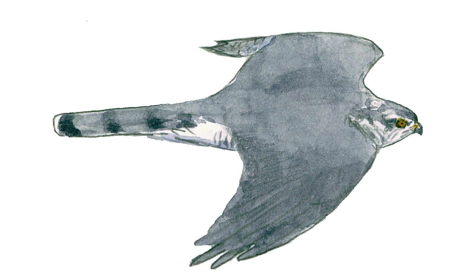 Pourquoi le coucou gris ressemble-t-il à un rapace ?