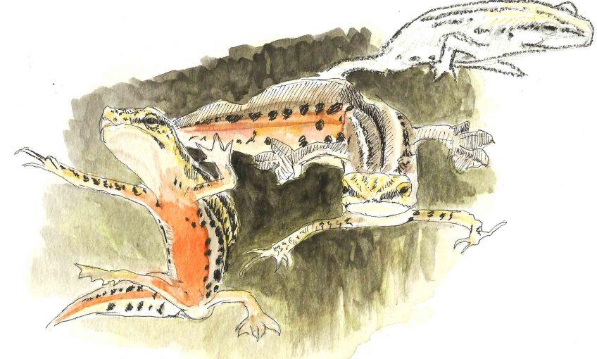 Tritons, des dragons au jardin - La Salamandre