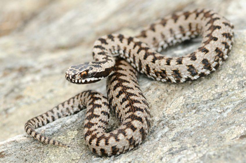 Elle a fait de sa peur des serpents son métier - vipère péliade