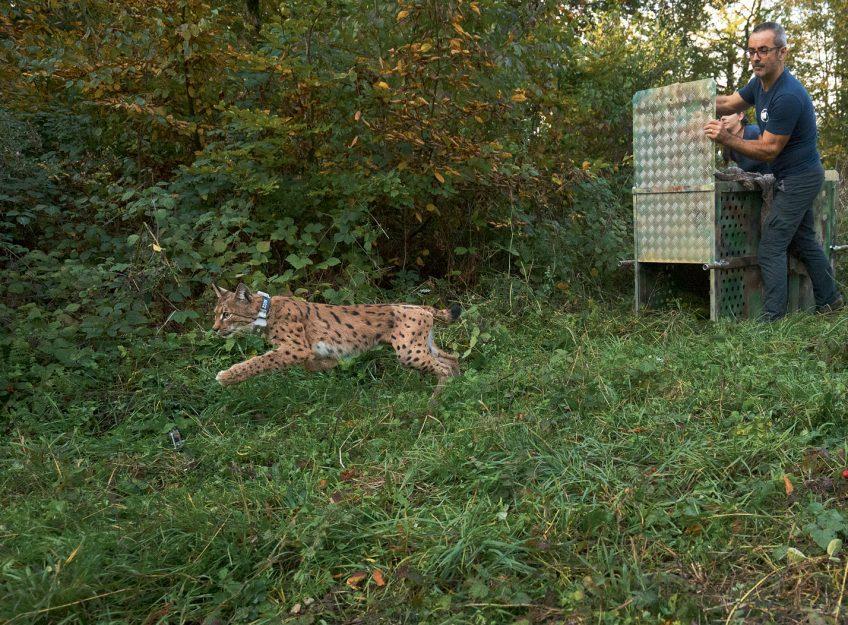 Lâcher de lynx soigné par le Centre Athénas