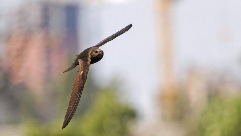 Il lutte pour préserver les zones de nidification du martinet