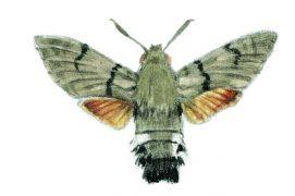 Presque tous les sphingidés sont nocturnes, à l'exception notamment du moro-sphinx. C'est un papillon de nuit qui vole en plein jour. Pilote extraordinaire devenu star des jardins, on l'appelle également sphinx colibri. Il visite les géraniums, les lavandes et d'autres fleurs sans même se poser.
