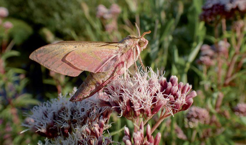 Plantez des fleurs pour attirer les papillons de nuit