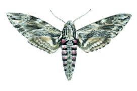 Autre as du pilotage, le sphinx du liseron stabilise lui aussi son vol et déroule sa trompe pour accéder au nectar. Sa langue mesure jusqu'à 13cm! Qui dit mieux? Aucun papillon européen. Il est battu en Amérique du Sud par le sphinx de Walker qui possède une trompe de 28 cm.