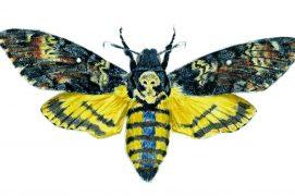 Le plus grand des sphinx est bien nommé sphinx tête-de-mort. Son envergure atteint 13 cm pour un corps de 6 cm de long. C'est aussi le plus lourd de tous les lépidoptères de nos contrées. Phénomène très rare chez les papillons, il est même capable d'émettre des sons grâce à sa trompe.  / © Pierre Baumgart