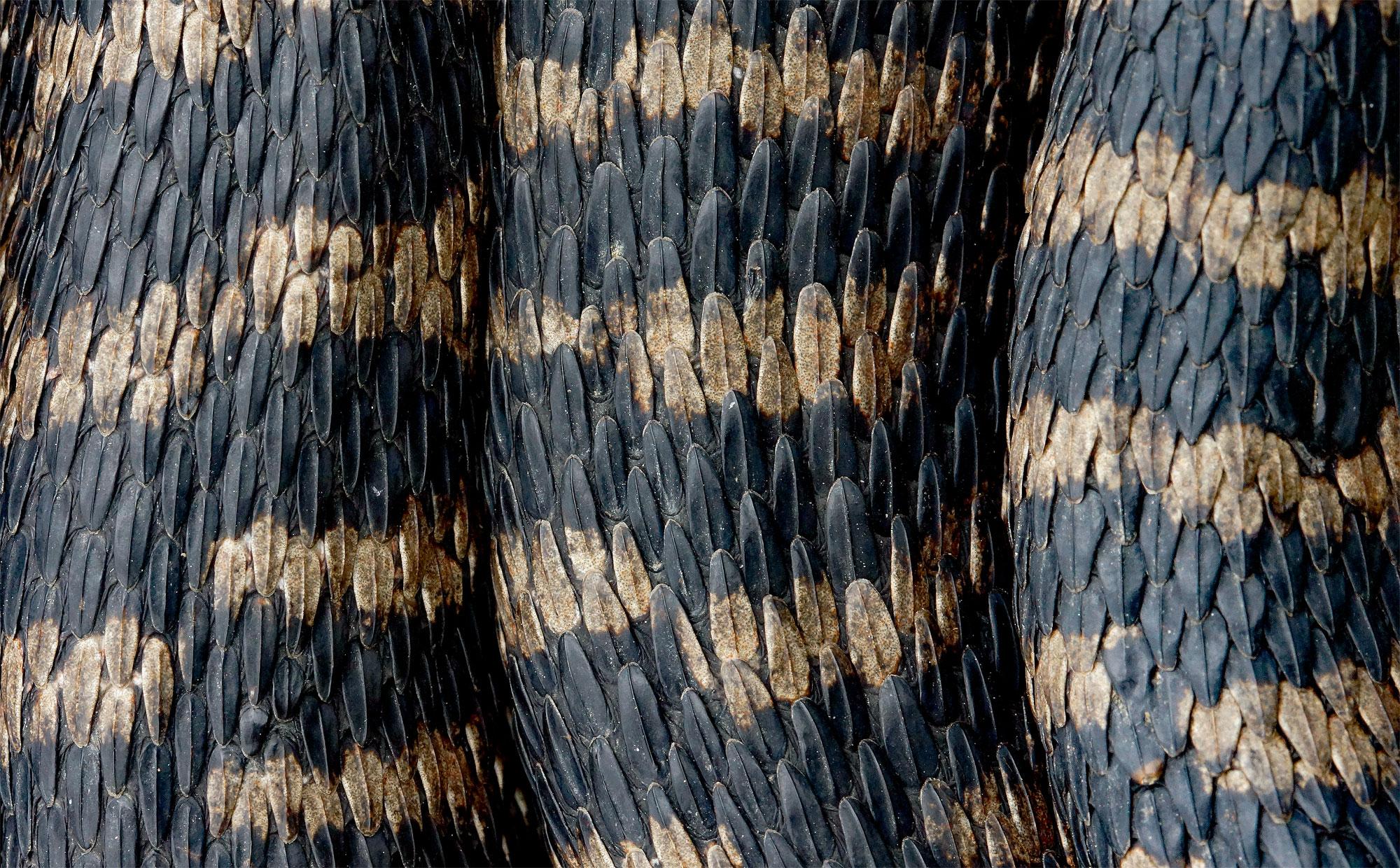 La vipère est menacée d'extinction à cause de la perte de ses habitats