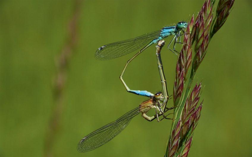 Testez une application de détermination des libellules suisses