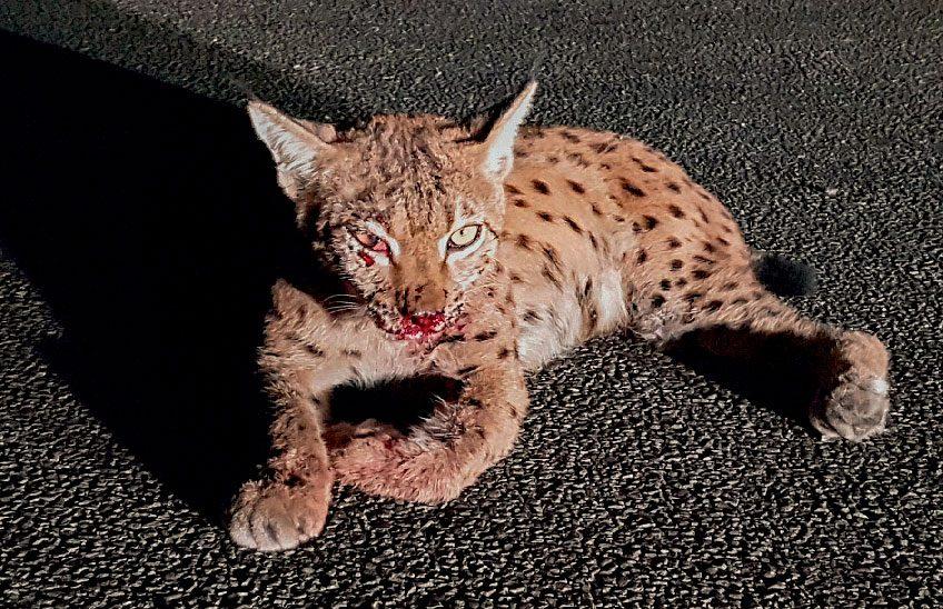 Lynx percuté par une voiture