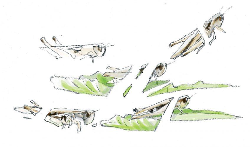 Explorez la biodiversité insoupçonnées des bords de route, le criquet mélodieux