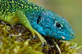 Lézard vert occidental / © Minden / Do Van Dijck / NiS / Biosphoto