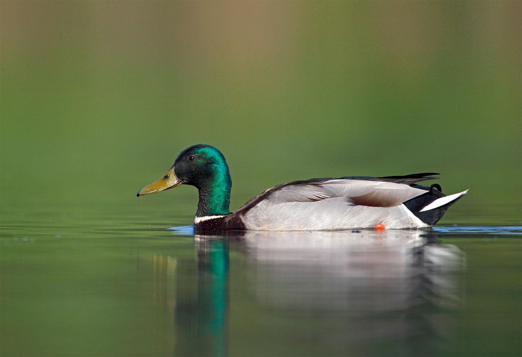 Pourquoi les canards mâles disparaissent-ils en été?