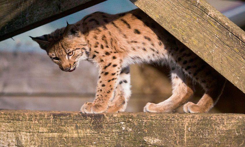 Le Centre Athénas soigne les lynx blessés en France
