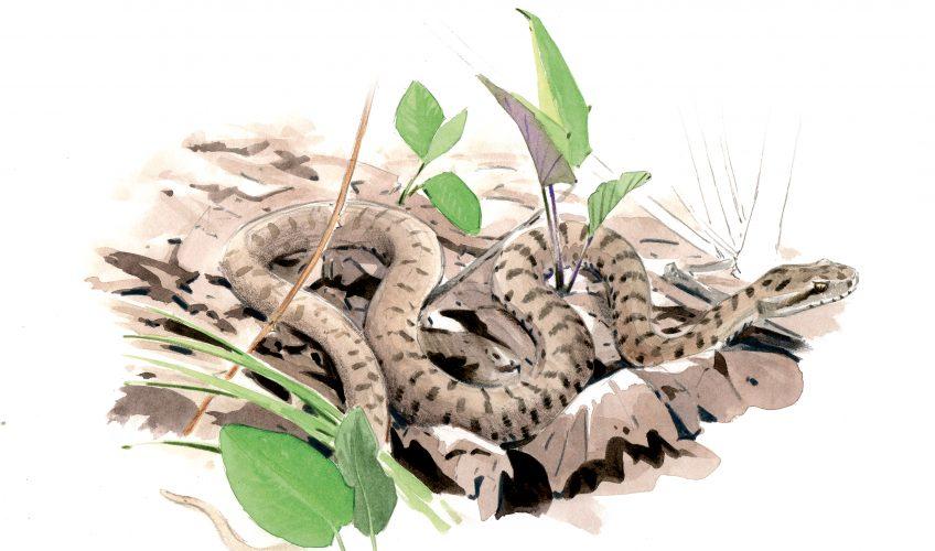 A la recherche de la vipère à sa sortie d'hibernation