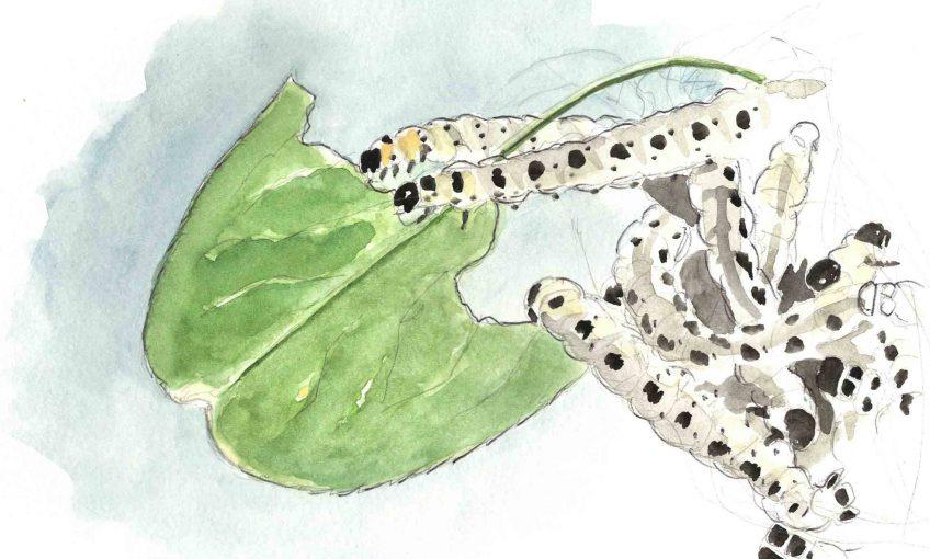 Les chenilles dévorent les fusains - La Salamandre
