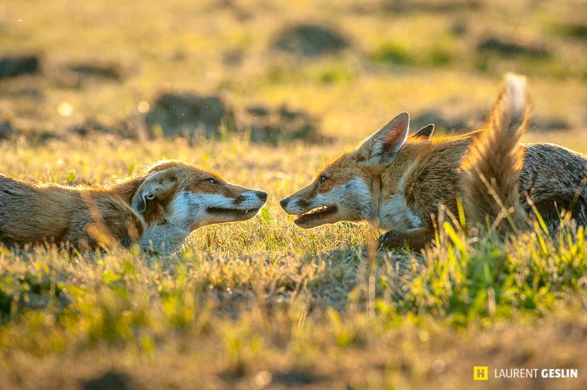 Histoires d'images - L'odyssée du renard