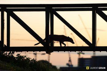 Urban fox at night