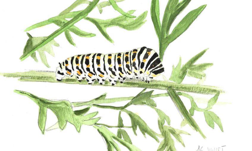 La chenille fan de carottes - La Salamandre