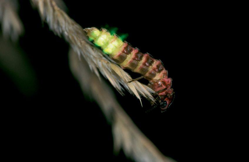 Vers luisant : l'insecte menacé par la pollution lumineuse en Pays de Gex