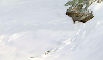 Lièvre variable camouflé dans la neige