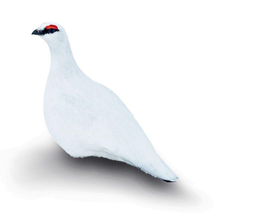 Blanc, couleur de la séduction ou de camouflage d'hiver chez les oiseaux