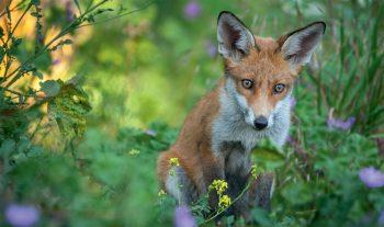 L'odyssée du renard - #1