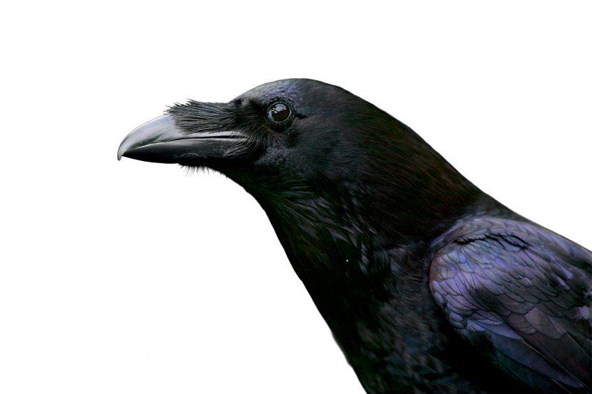 Le noir dans la nature, du charbon au corbeau