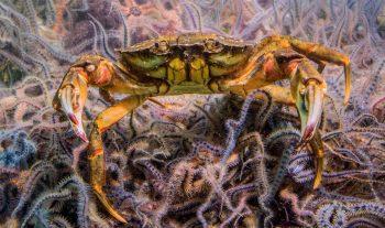 Non, les cuirassiers marins à l'image de ce crabe vertne chancellent pas par ivresse.