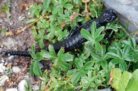 Salamandre noire / © Milo Genasci