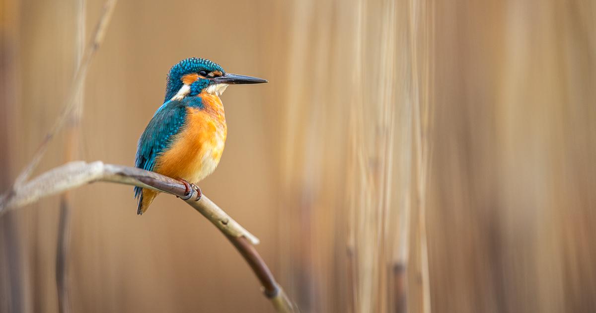 Le lac aux oiseaux - martin-pêcheur