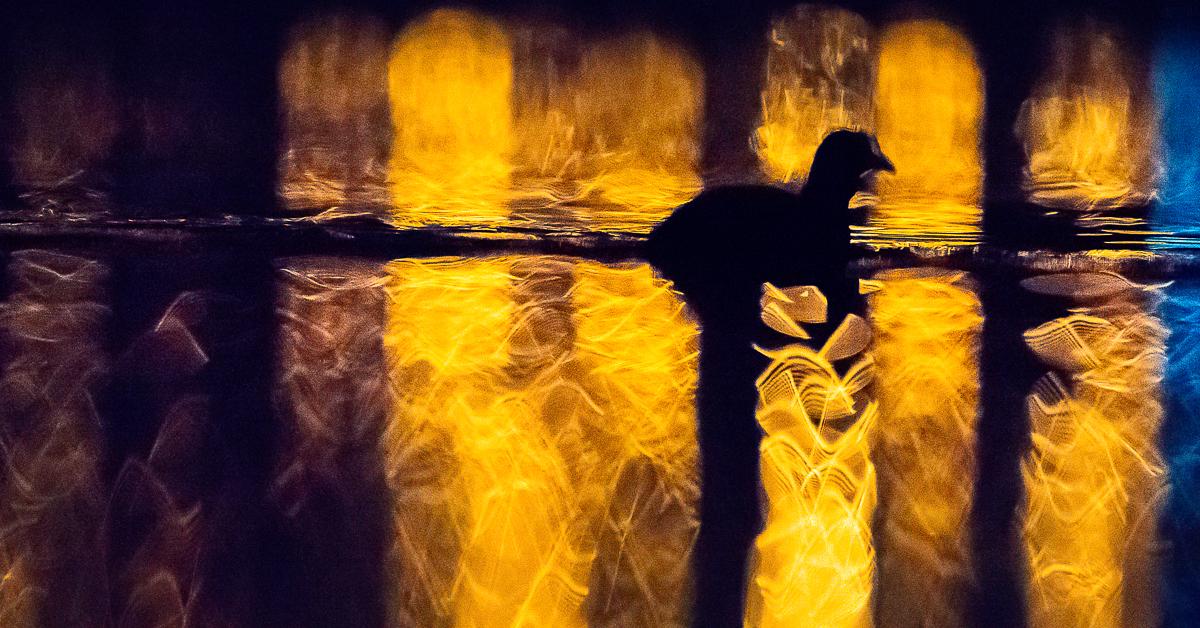 Le lac aux oiseaux - foulque macroule