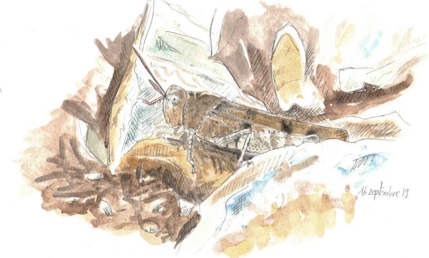 L'oedipode, criquet camouflage - La Salamandre