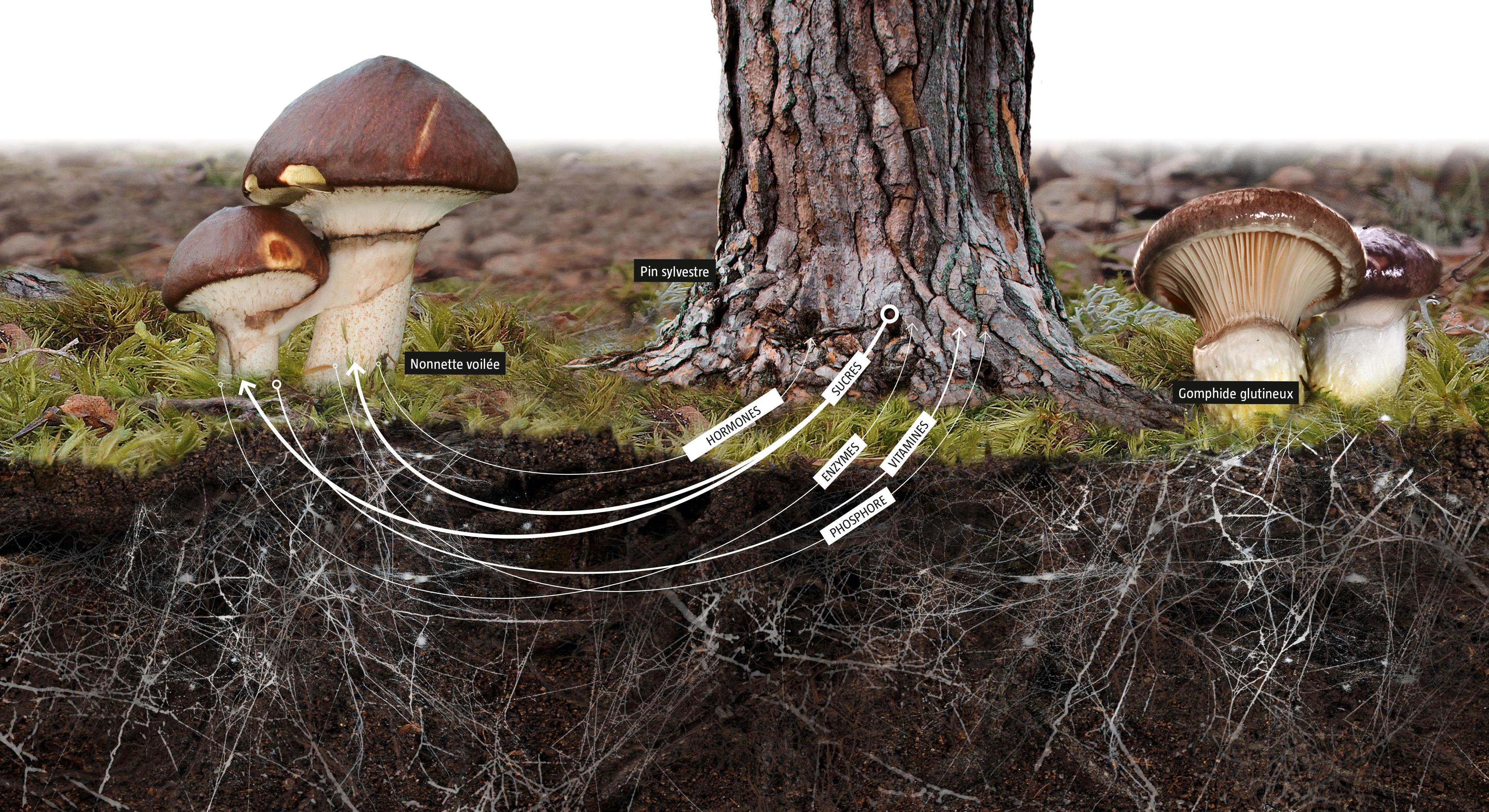 Comment les arbres et les champignons s'échangent-ils de la nourriture ?