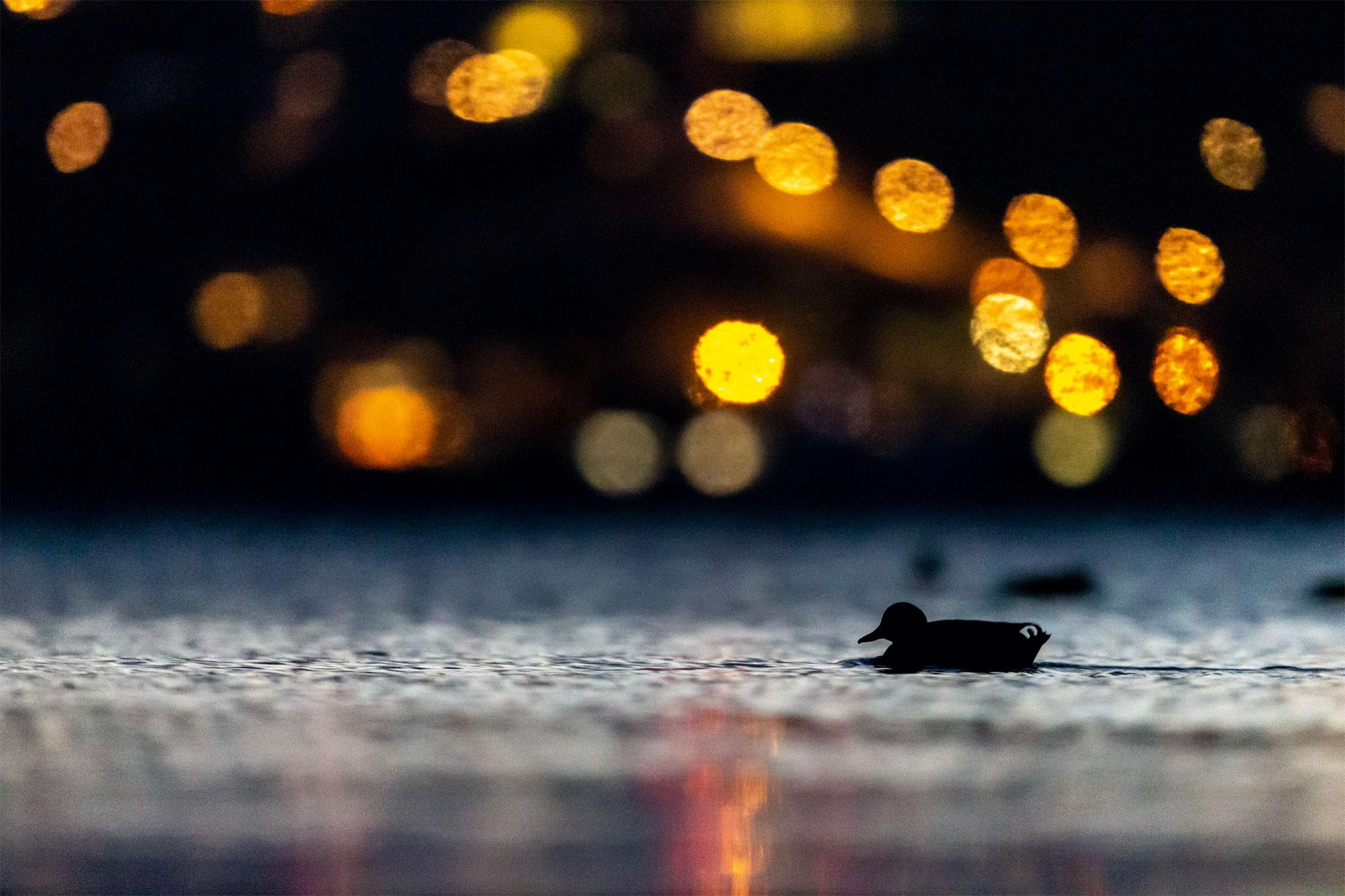Le lac aux oiseaux Canard colvert