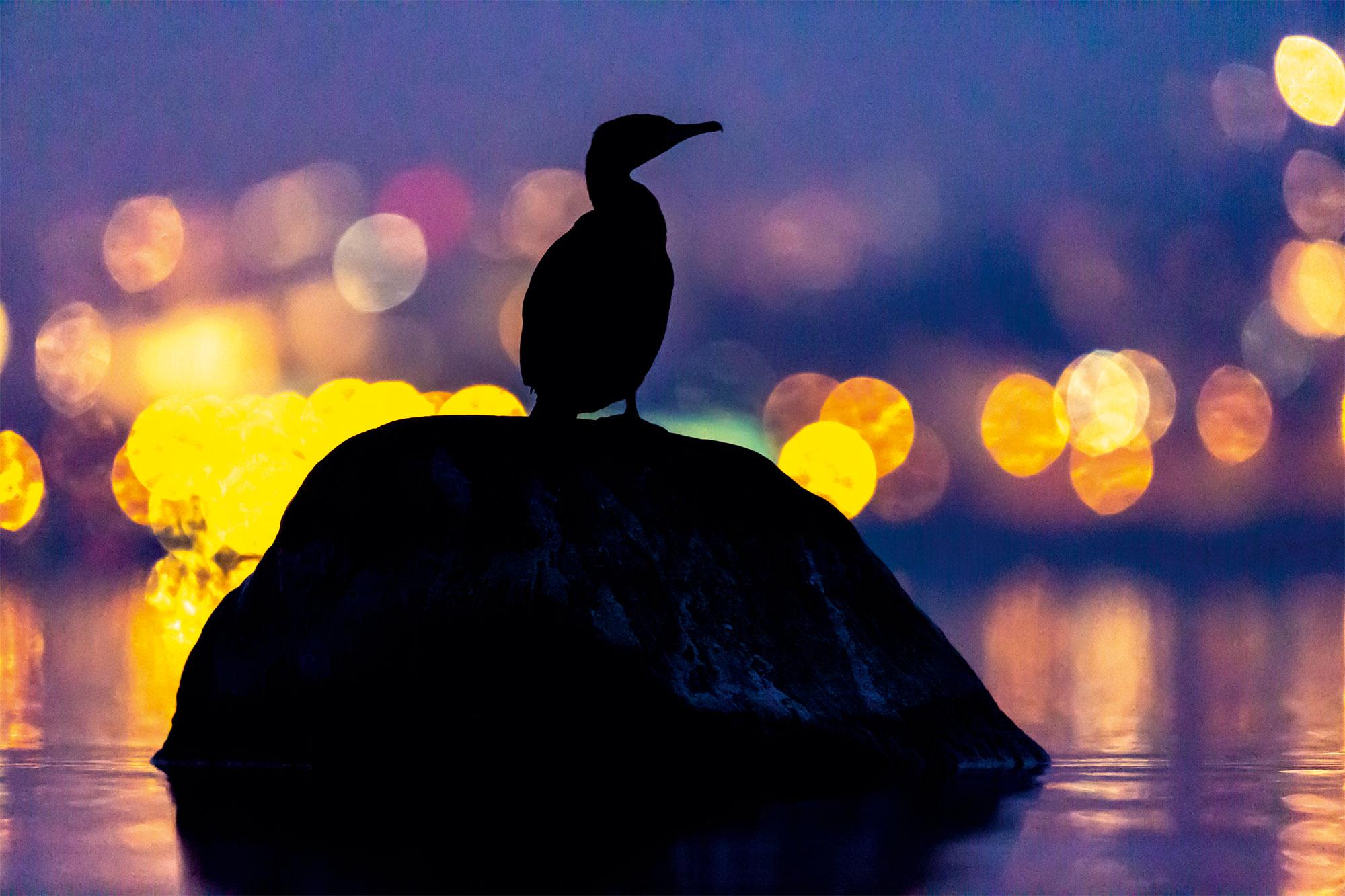 Le lac aux oiseaux Grand cormoran