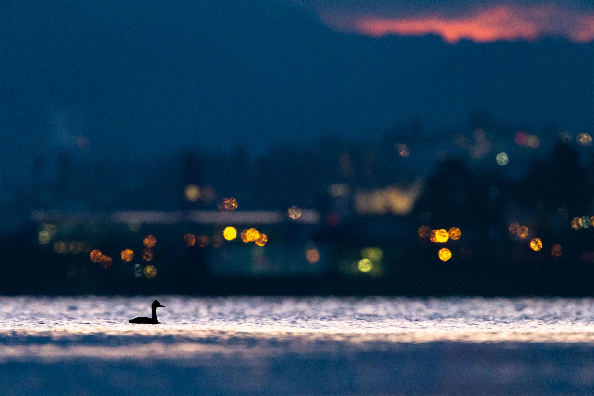 Le lac aux oiseaux Grèbe huppé et ville de Neuchâtel