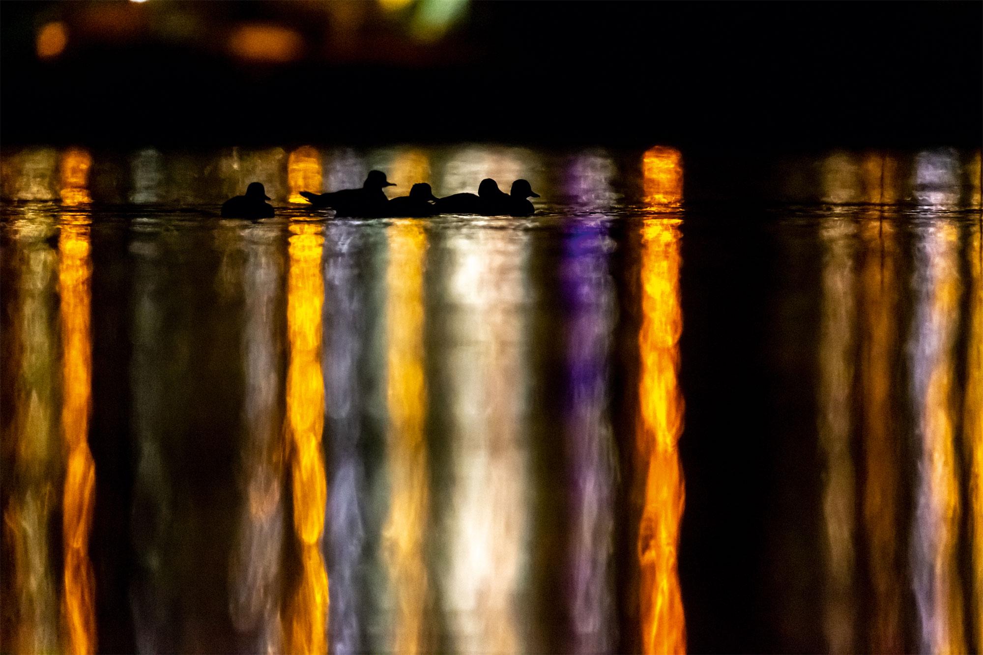 Le lac aux oiseaux Harle bièvre et canards chipeaux