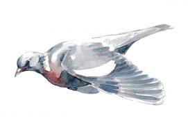 Pigeon ramier / © Nick Derry