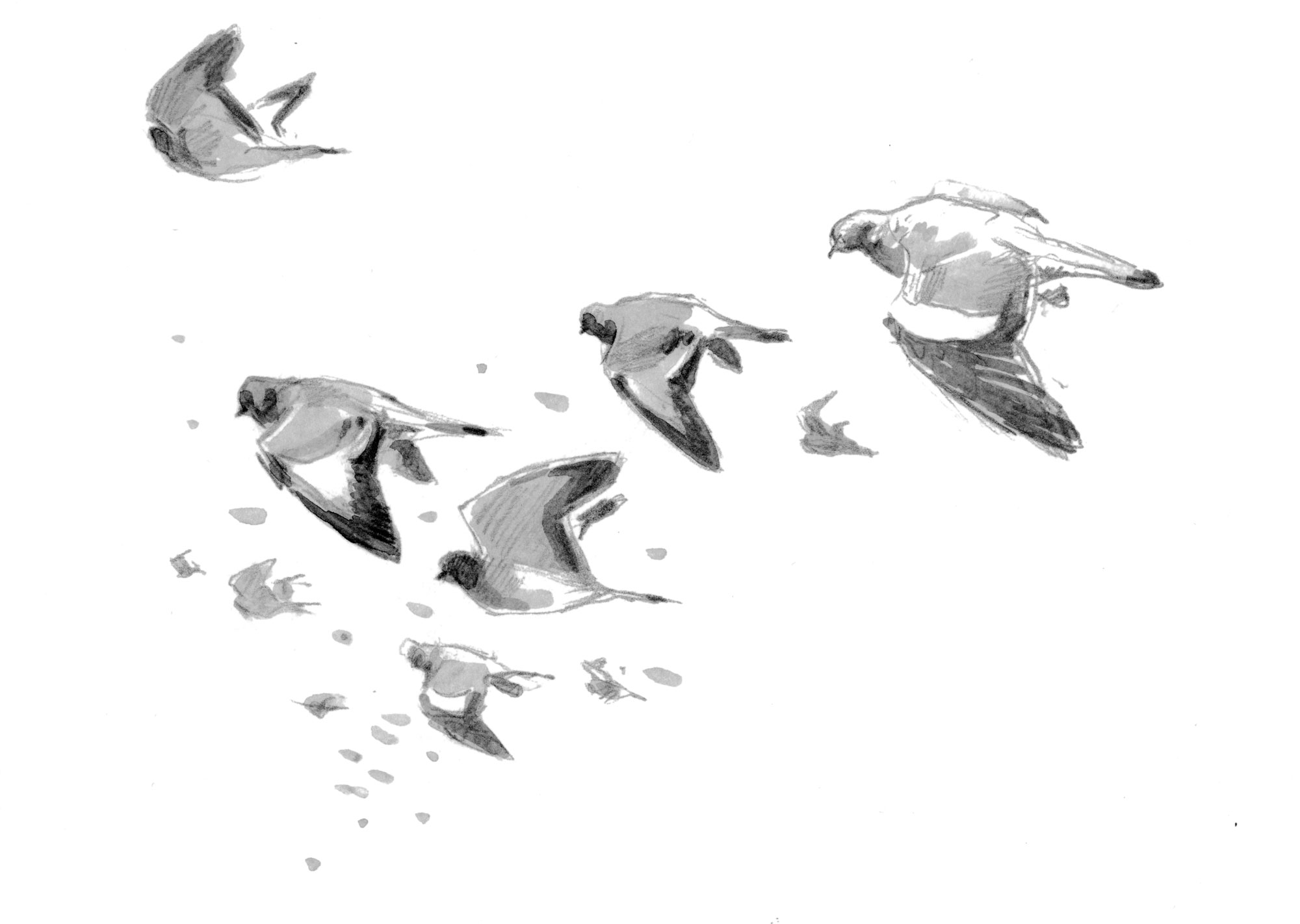 Migration d'automne, observez le grand défilé des oiseaux - Pigeons colombins