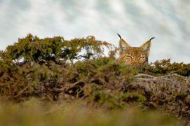 Lynx / © Olivier Born