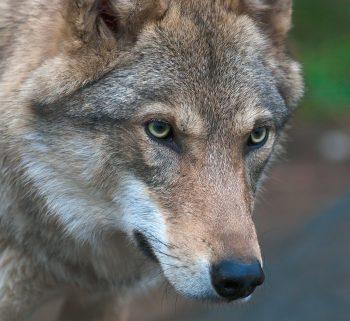 Observer le loup et d'autres animaux malaimés, dénoncer les abus, faire bouger les choses, telles sont les activités de Pierre Rigaux.