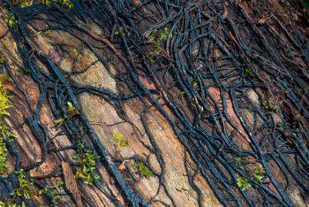 Les armillaires et autres champignons tueurs d'arbres