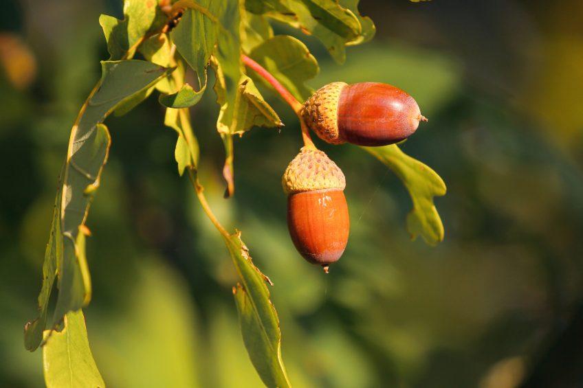 Comment manger les feuilles et les glands du chêne ?
